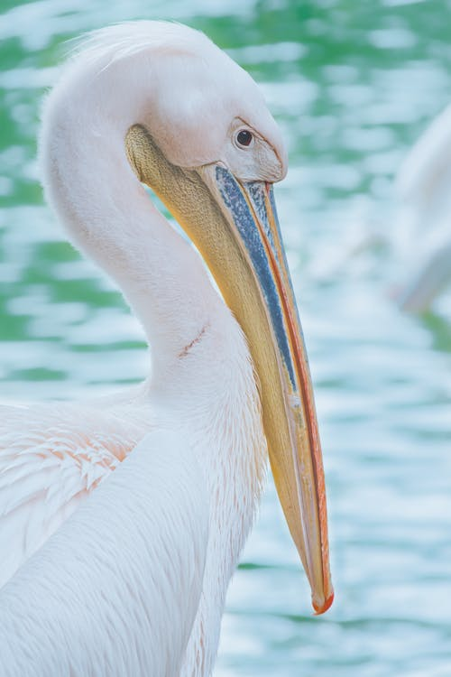 Close-up Photo of Great White Pelican