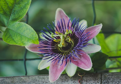 Close-Up Photo of a Passion Flower