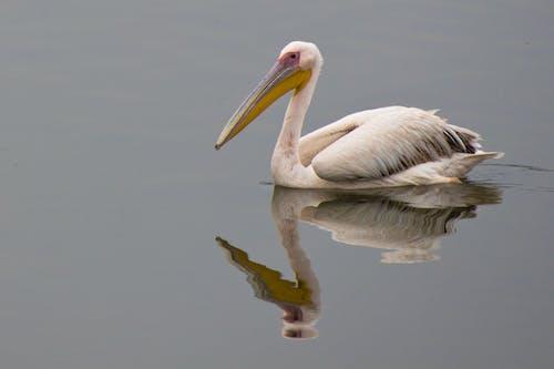 คลังภาพถ่ายฟรี ของ นกกระทุง