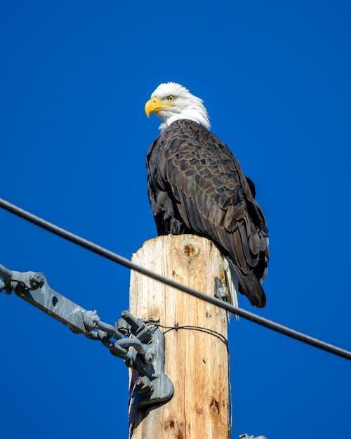 Imagine de stoc gratuită din pasăre, pasăre răpitoare, vultur