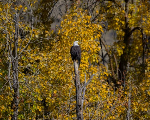 American Eagle Perched on Bare Tree