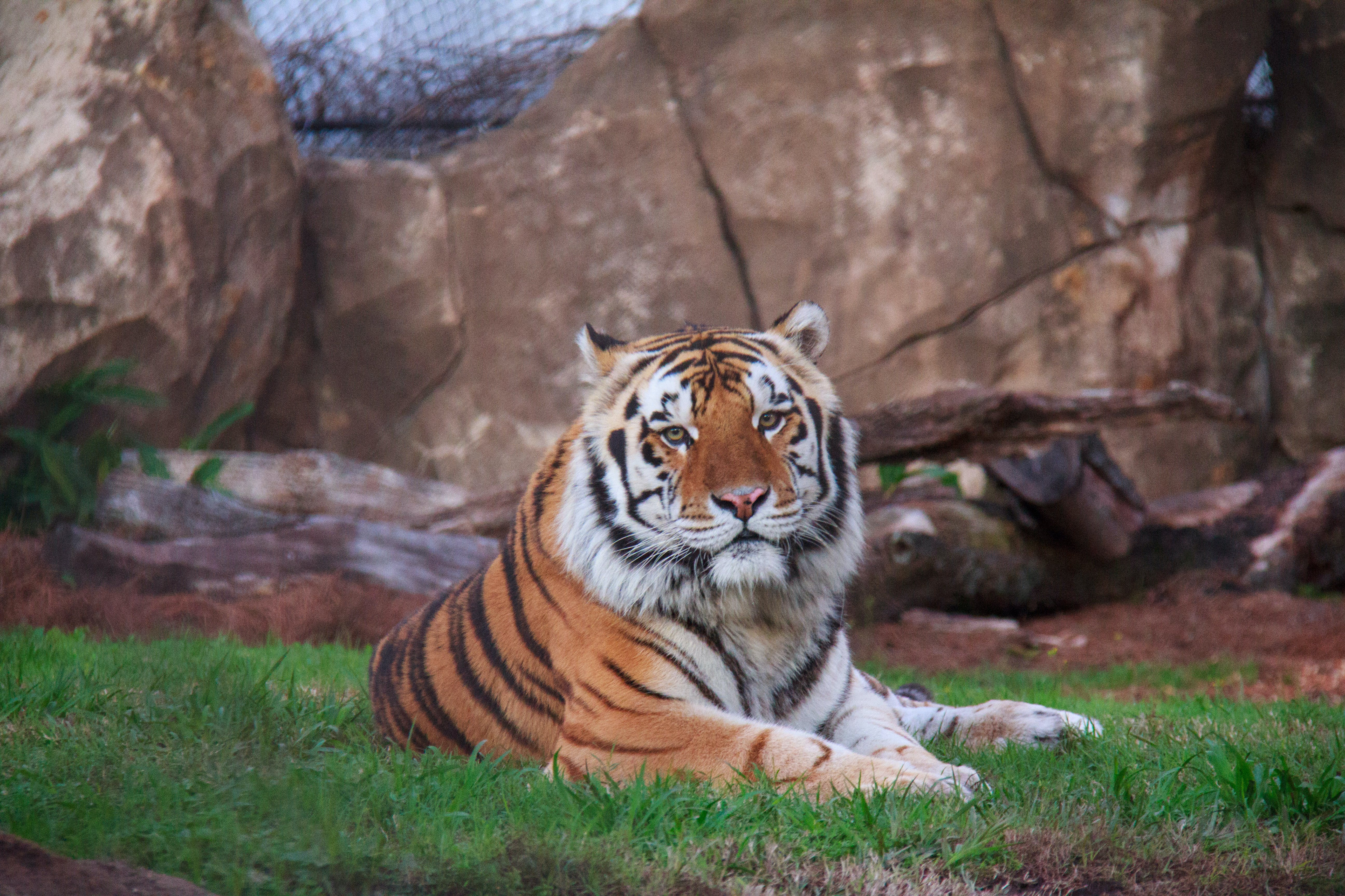 Free stock photo of bengal, big cat, cat, lsu