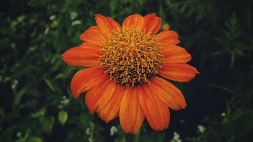 头花, 橘色的花, 特寫, 红色向日葵 的 免费素材照片