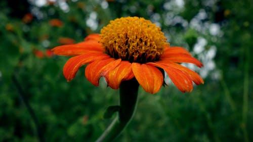 头花, 特寫, 红色向日葵, 美丽的花 的 免费素材照片