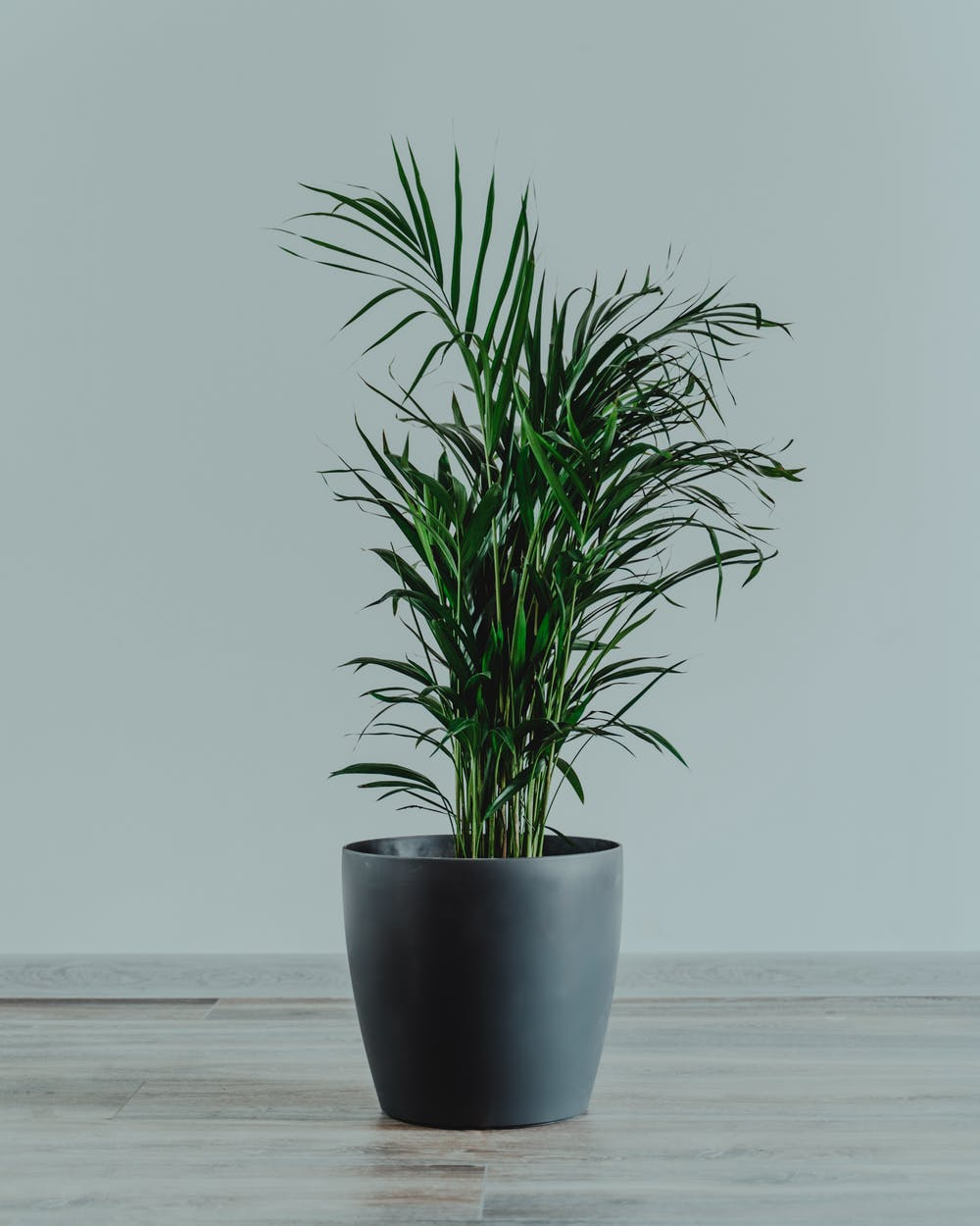 Parlor Palm, perfect tropical indoor plants.