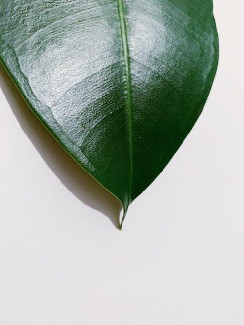 Imagine de stoc gratuită din concentrare, culori, frunză, Frunză mare