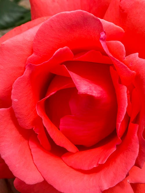Free stock photo of beauty of nature, close up, natural beauty, red flower