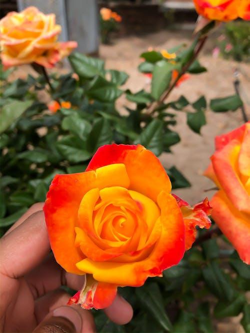 Free stock photo of beautiful flower, orange flower, rose