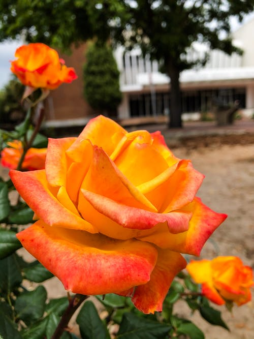 Free stock photo of beautiful flower, fire flower, rose