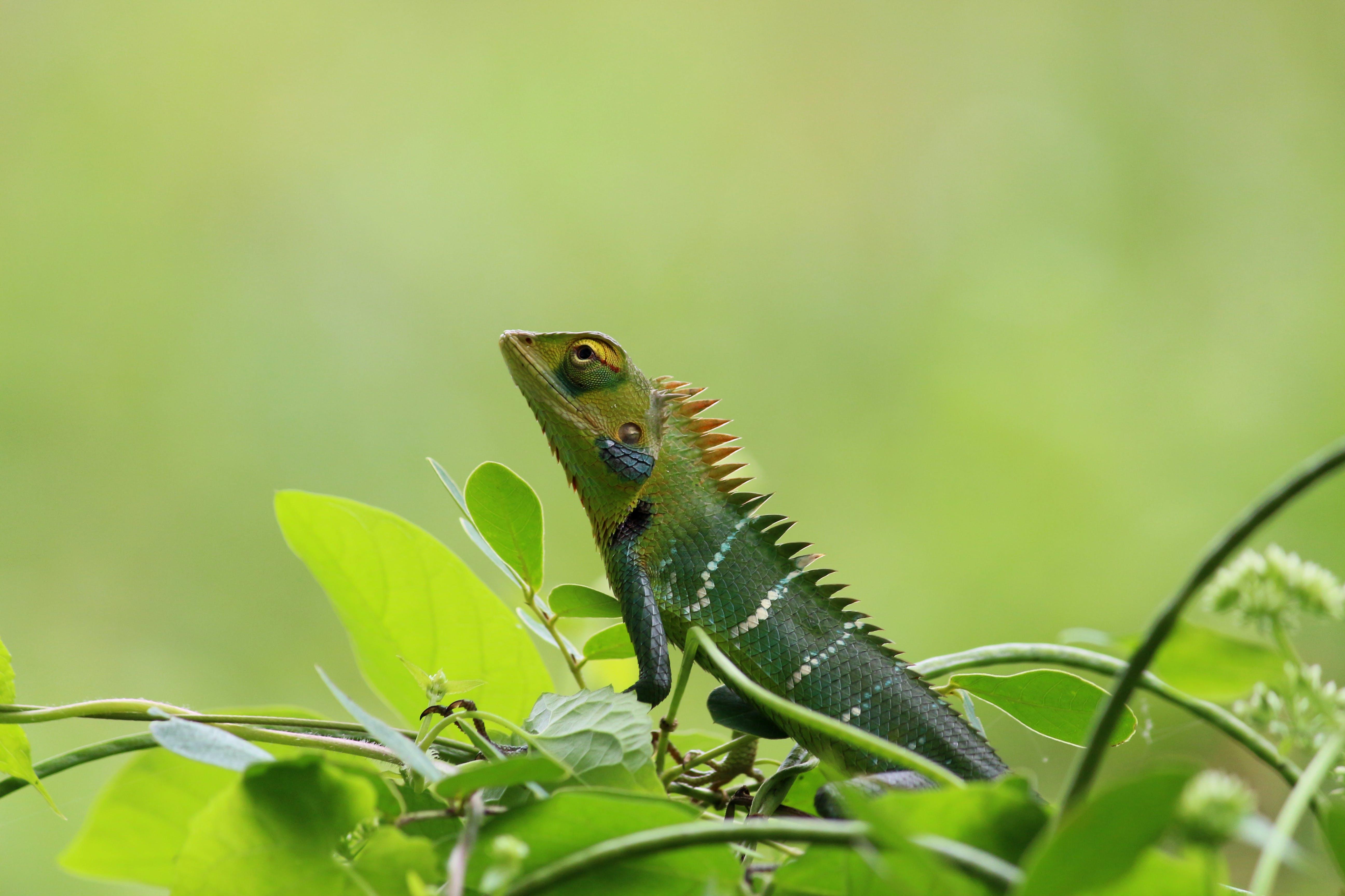 chameleon, green, nature
