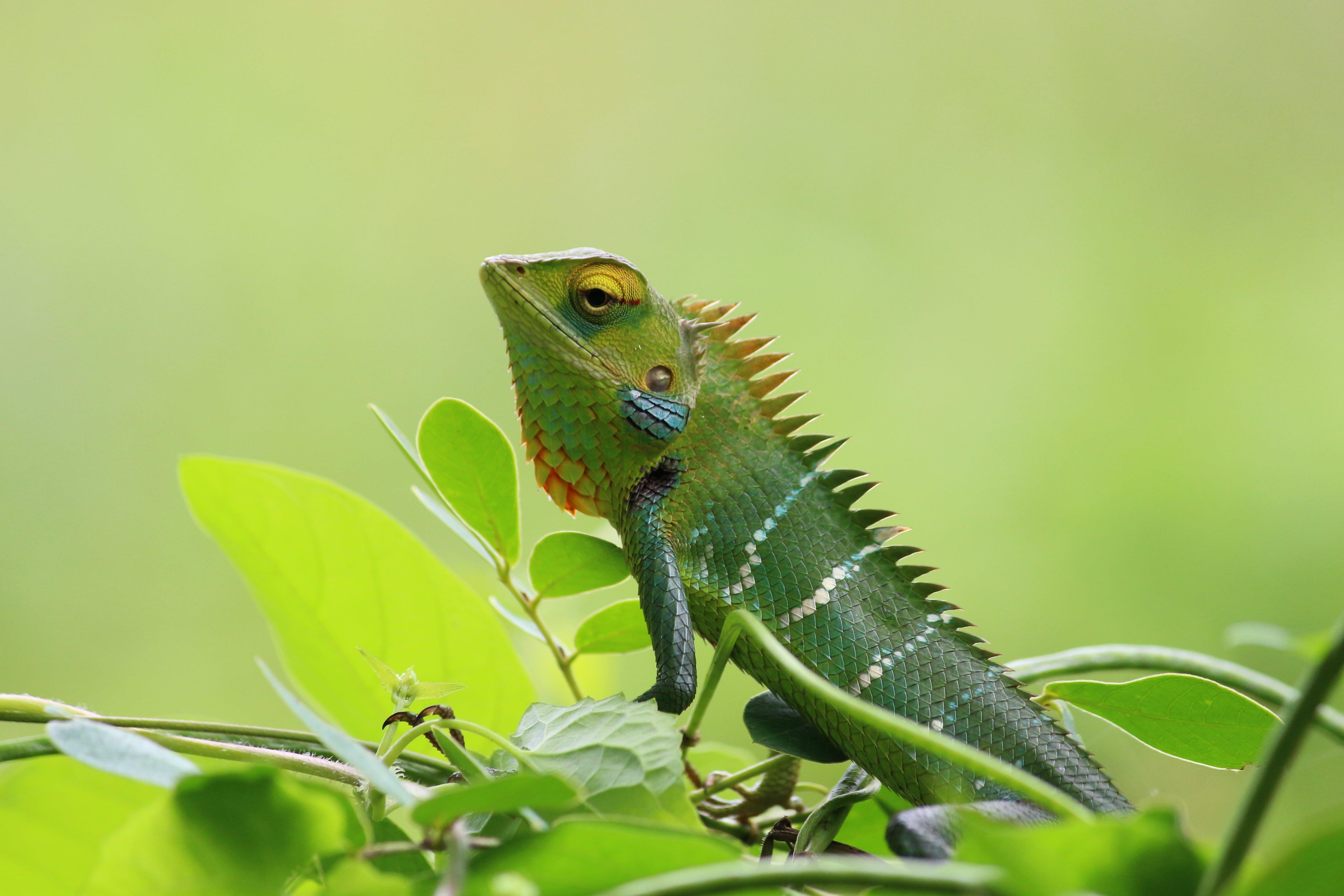 animal, chameleon, close-up