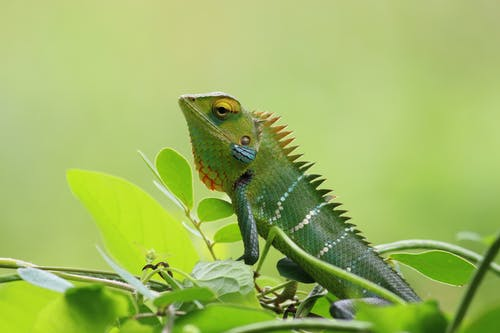 Closeup Photography of Chameleon