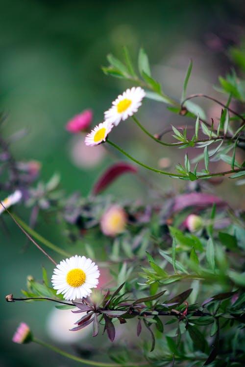 blomma, blommor, daisy