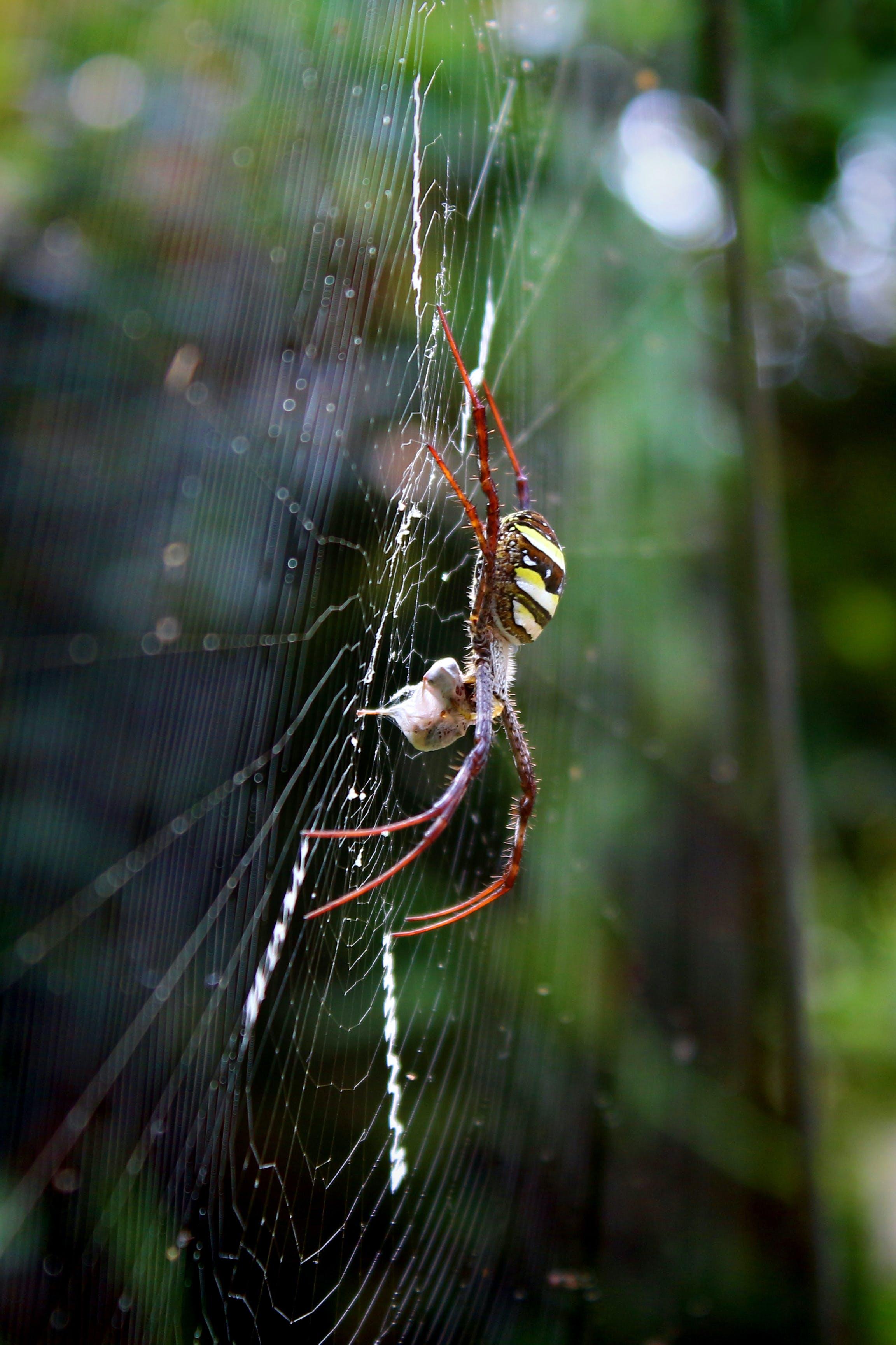 Free stock photo of animal, araneae, cobweb, danger