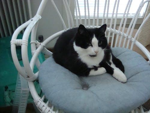 Free stock photo of armchair, cat
