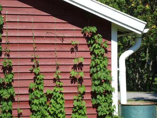 Free stock photo of climbing plant, hops, wall