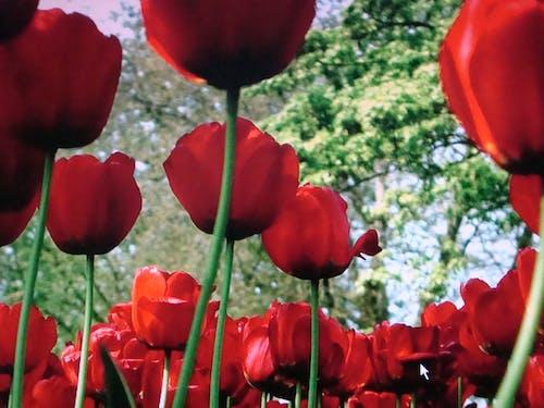 Free stock photo of field, flowers, tulips