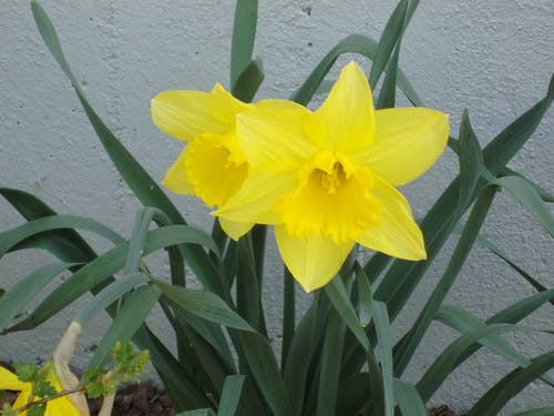 Free stock photo of daffodil, flower, lent lily