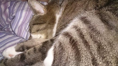 Free stock photo of cat, sleeping, stripes