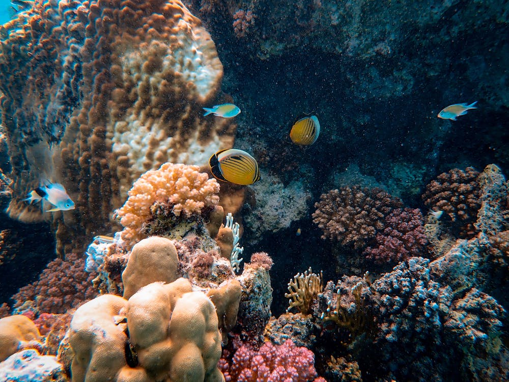 Photo Of Yellow Fishes Near Corals