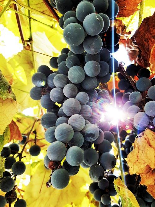 Gratis arkivbilde med druer, foto, fotografi, høst