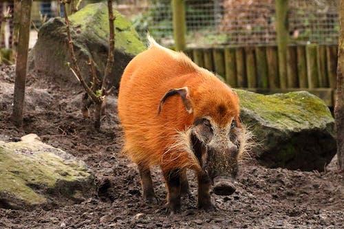 Δωρεάν στοκ φωτογραφιών με άγριο χοίρο, ζώο, ζωολογικός κήπος, πορτοκαλί δέρμα