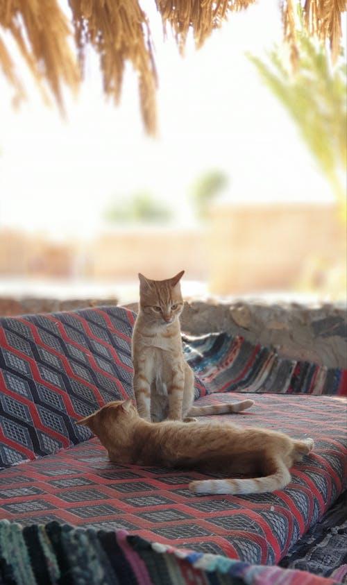Ảnh lưu trữ miễn phí về ai cập, con mèo, mèo, sinai