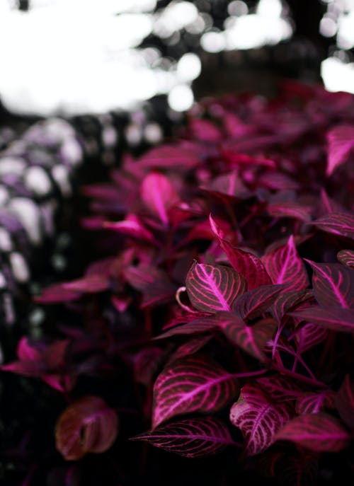 Free stock photo of flower, magenta, plant, purple