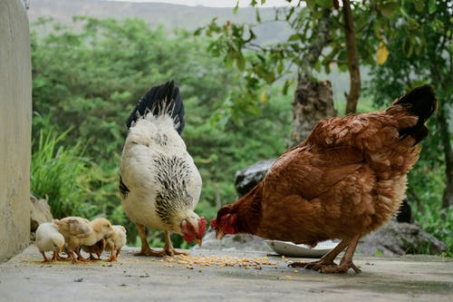 Brown and White Chickens on Gray Concrete Floor