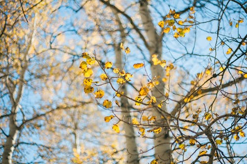Základová fotografie zdarma na téma listy, osika, padání, podzim