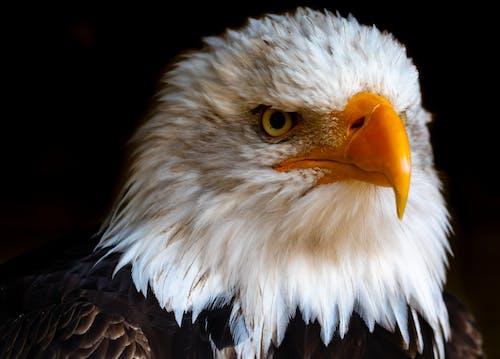 Foto d'estoc gratuïta de àguila, àguila calba, animal, au