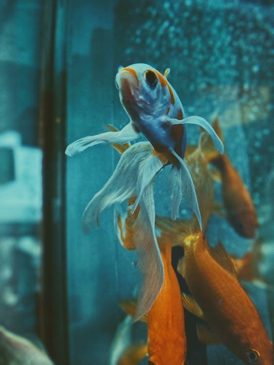 Gold Fish in Glass Aquarium
