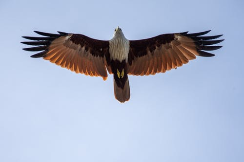 Free stock photo of bird, eagle, flight