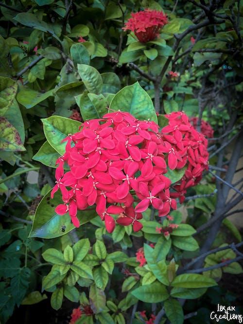 Free stock photo of beautiful flower, flower, red flower