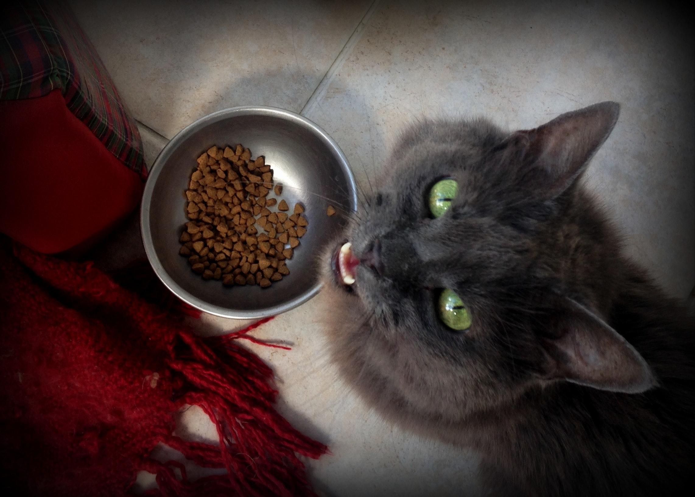 Darmowe zdjęcie z kategorii futro, jedzenie, kot.
