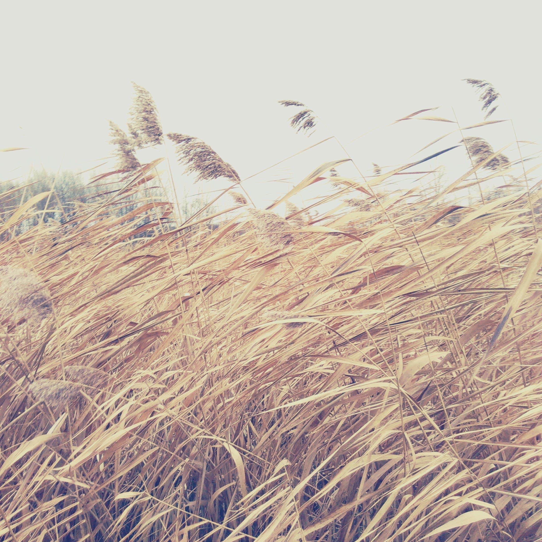 bối cảnh, cánh đồng, cánh đồng lúa mì