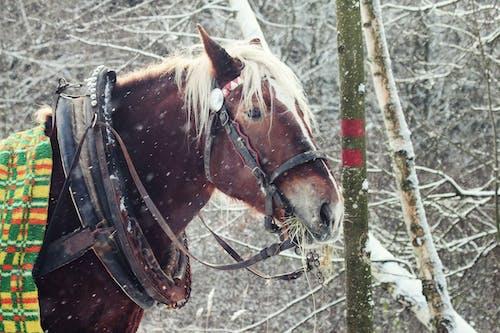 Fotos de stock gratuitas de caballo, caballo de tiro, caballo de trabajo, invierno