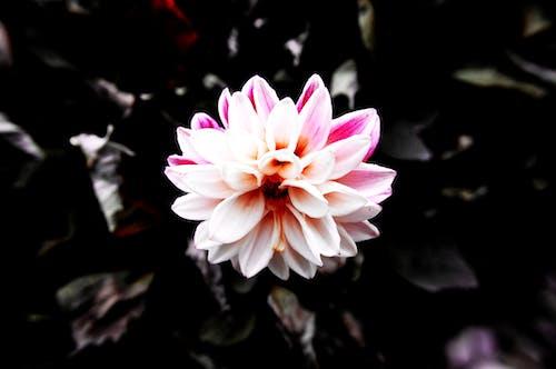 Free stock photo of dark, flower