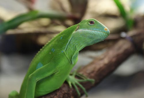 Foto profissional grátis de iguana