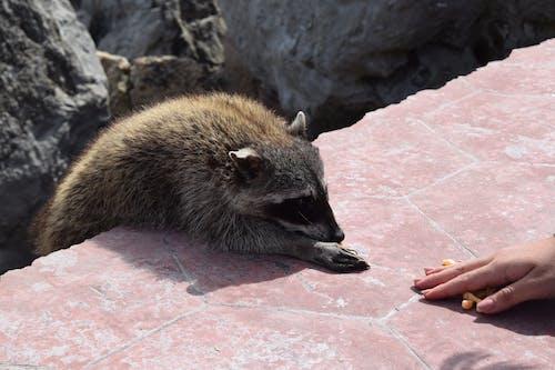 Ilmainen kuvapankkikuva tunnisteilla eläimet, pesukarhu, villieläimet