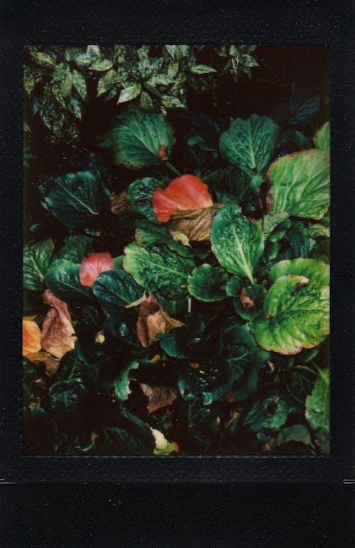 Immagine gratuita di film istantaneo, fogliame, foglie, foto