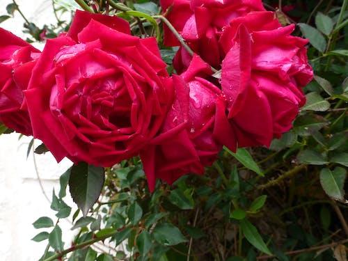Ilmainen kuvapankkikuva tunnisteilla kasvit, kukat, luonto, ruusut