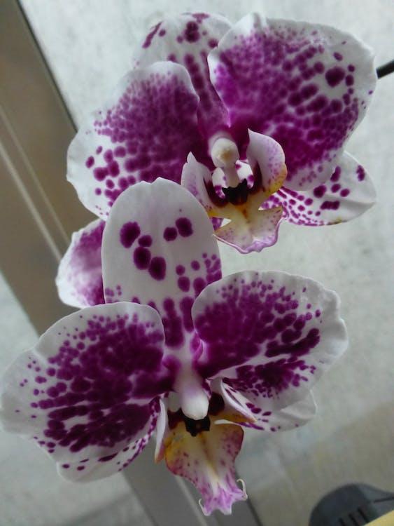 flowers, orchids, purple