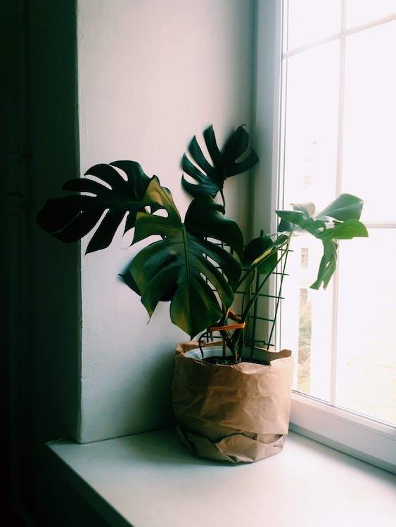monstera deliciosa, в помещении, горшечное растение