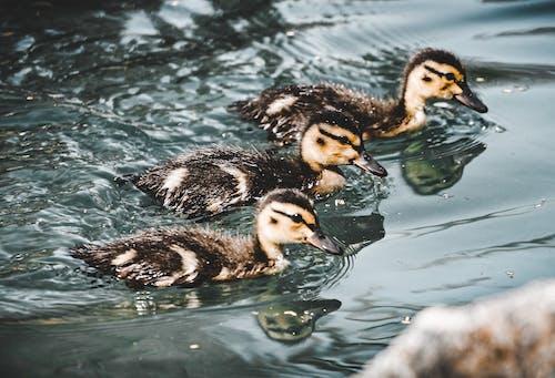 Ilmainen kuvapankkikuva tunnisteilla ankat, duckys, eläimet, höyhen