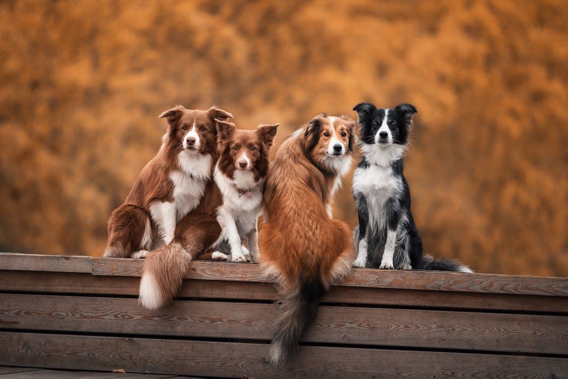 aanbiddelijk, beesten, canidae