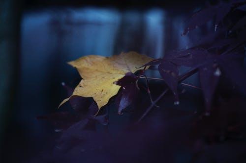 カエデ, ダーク, 楓, 葉の無料の写真素材