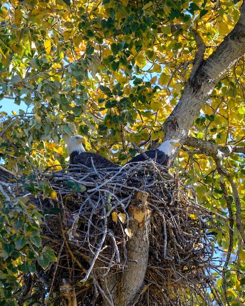 Imagine de stoc gratuită din cuib, raptors, vulturi