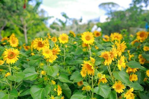 Бесплатное стоковое фото с поле подсолнухов