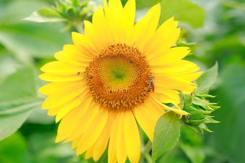 Free stock photo of bee and sunflower